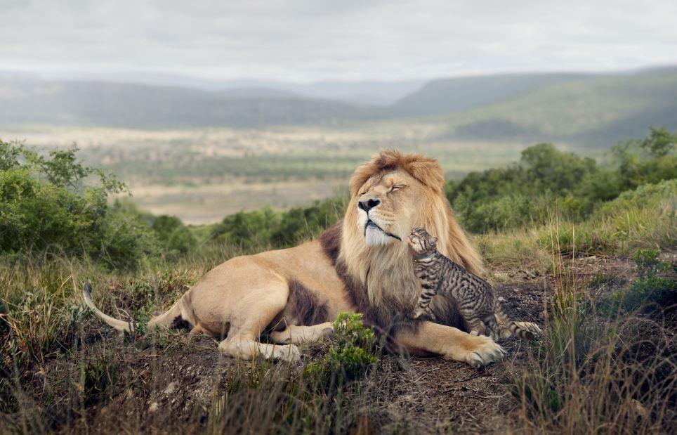 Lion, Grooming